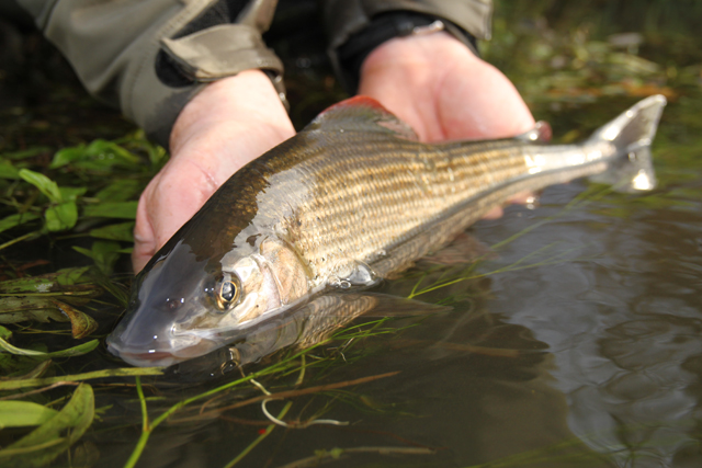 Grayling are such stunning creatures
