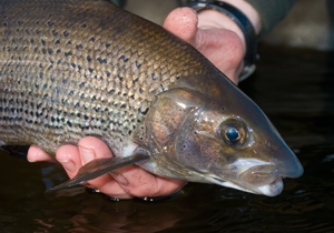 Grayling head