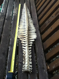 Trent Skeleton