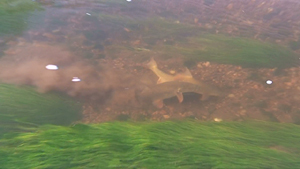 Barbel Spawning On The Swale