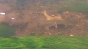 Spawning Barbel