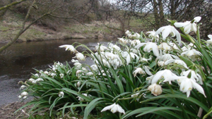 Swale Snowdrops