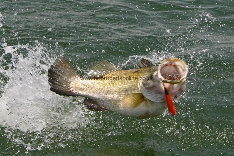nile-perch-leaping